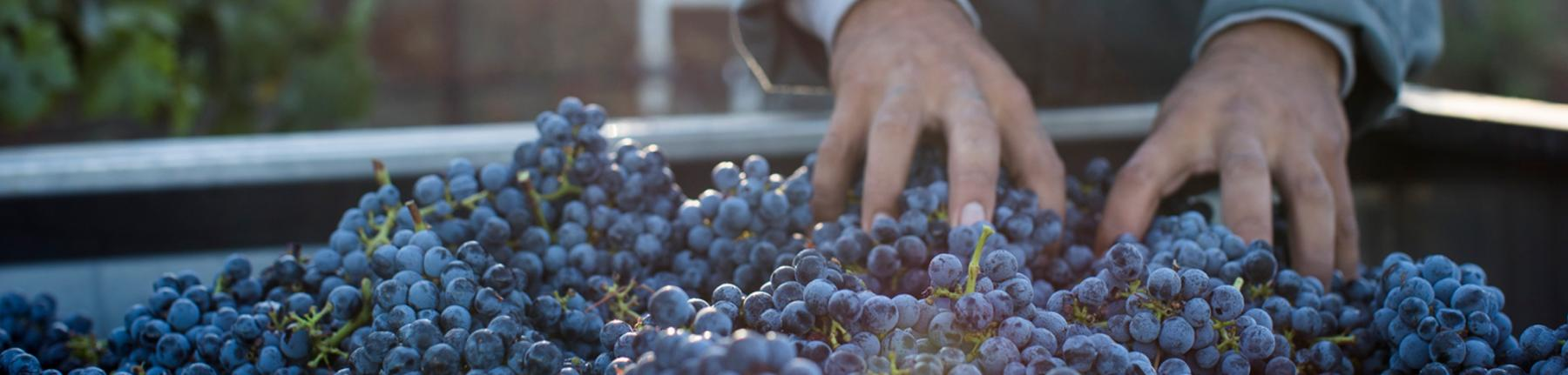 Hand-sorting grapes at harvest